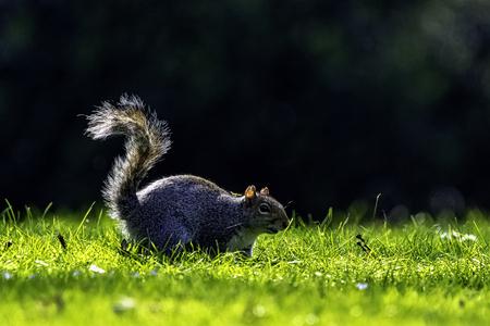 Eastern gray squirrel (Sciurus carolinensis) in British park