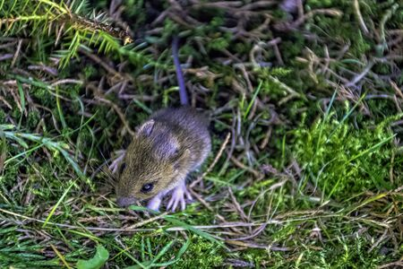 Young bank vole (Myodes glareolus, formerly Clethrionomys glareolus) hidden in the grass 版權商用圖片