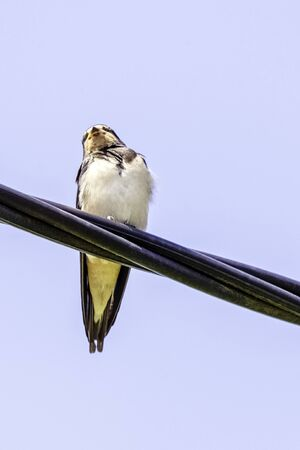 Red-rumped swallow (Cecropis daurica) is a small passerine bird in the swallow family - Choczewo, Pomerania, Poland