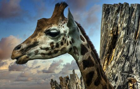 Giraffe (Giraffa) is an African artiodactyl mammal, the tallest living terrestrial animal and the largest ruminant 写真素材