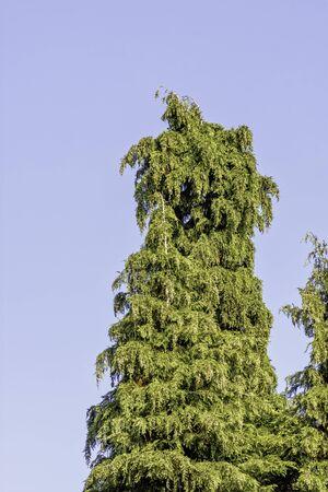 Thuja green giant arborvitae known as thuja occidentalis, northern or eastern white cedar, whitecedar, swamp or false white cedar, American arborvitae