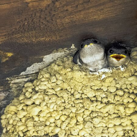 Common house martin (Delichon urbicum), sometimes called the northern house martin - nest with chicks in Choczewo, Pomerania, Poland Standard-Bild