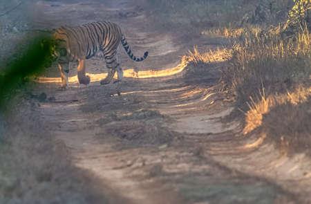 Wild female Bengal tiger (Panthera tigris tigris) in Jim Corbett National Park, India