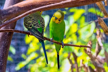 Melopsittacus undulatus known as budgerigar, budgie or parakeet 免版税图像