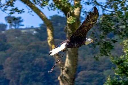 Young bald eagle (Haliaeetus leucocephalus) also known as white-headed or white-tailed eagle, sea eagle or American eagle