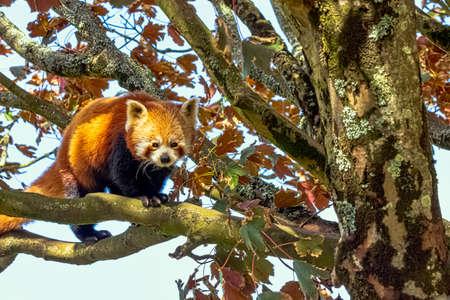 Red panda (Ailurus fulgens) known as lesser panda, the red bear-cat, or cat-bear