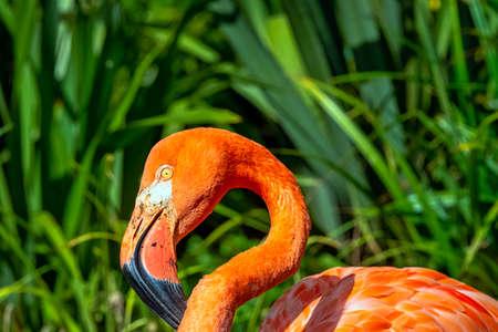 Phoenicopterus ruber known as American or Caribbean flamingo - Peninsula de Zapata / Zapata Swamp, Cuba 免版税图像
