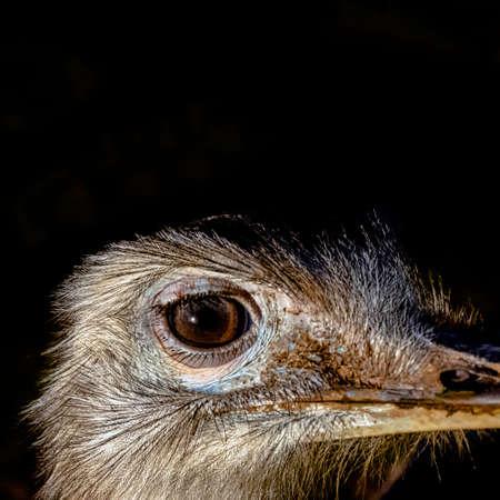 Rhea known as nandu - South American ostrich 免版税图像