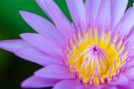 flor violeta: flor de loto primer plano