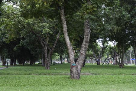 natual: v shape tree in natual park