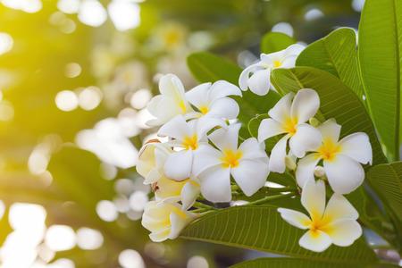 white plumeria flower with soft light effect Stock Photo