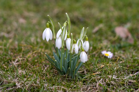 snowdrop: Cluster of snow drops growing in the spring
