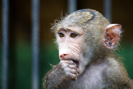 Portrait of young baboon in a cage Stock Photo - 10060146