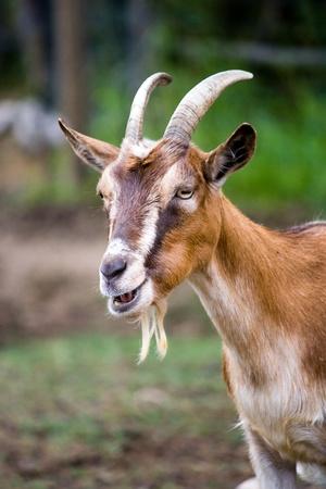 Retrato de Deatil de una cabra marrón con cuernos
