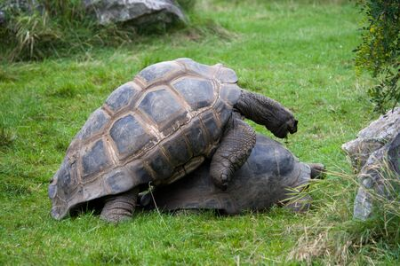 Two big old copulating turtles on the grass Stock Photo