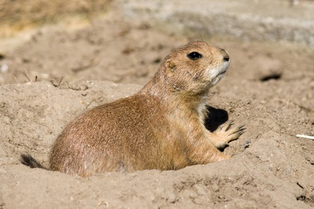Prairie dog is looking out from his hole photo