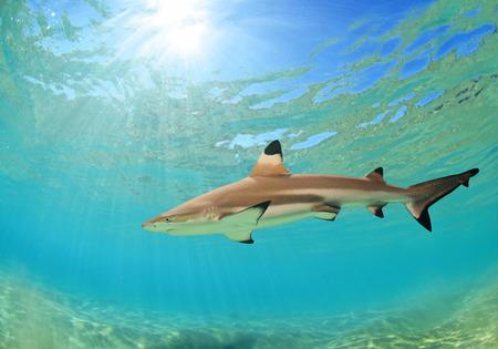 ハワイアンの黒い先端礁の鮫 写真素材