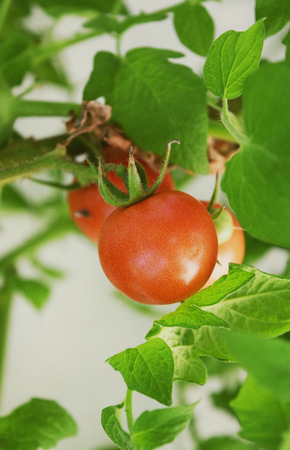 orange county: Vine Ripe Cherry Tomatoes in Orange County California
