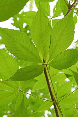buckeye: Ohio Buckeye Leaf in Springtime