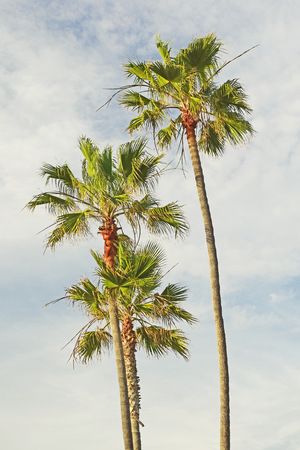 California Palm Trees just before sunset in Southern California
