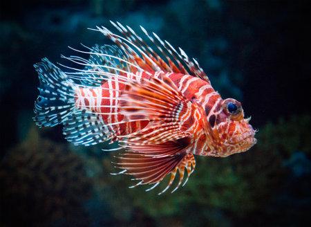 dragonfish: Lionfish underwater
