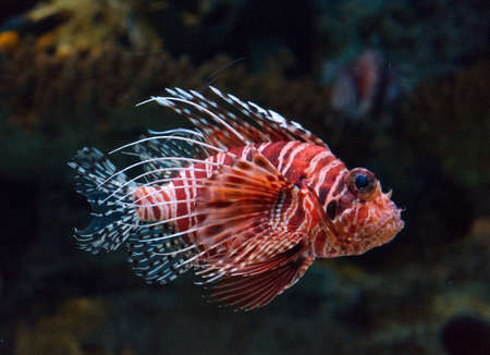 turkeyfish: Lionfish underwater