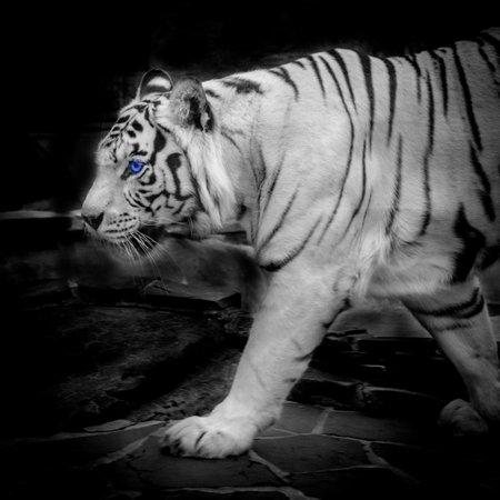 Tigre blanc Banque d'images - 25123496