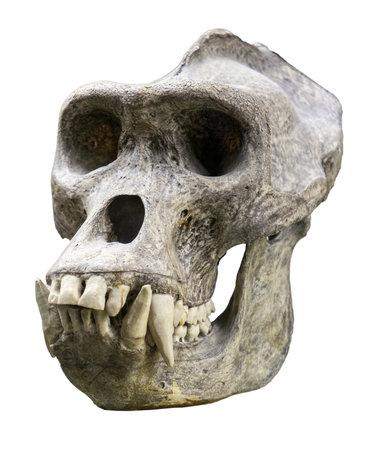 Homme de crâne de gorille isolé sur blanc