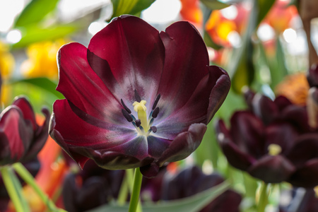Black tulip flower. Spring garden background. Beautiful tulips growing at field. Queen of the Night tulips, otherwise known as black tulips.