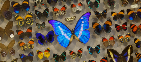 Exposition of variety of dead butterflies pinned on board under glass