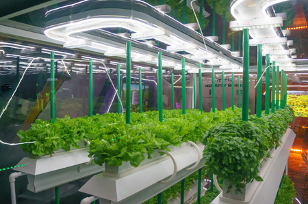 Soilless culture of vegetables under artificial light. Organic hydroponic vegetable garden. LED light Indoor farm, Agriculture Technology. Inside a warehouse without the need for sunlight Stock Photo