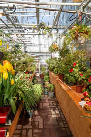 Interior of a greenhouse for growing flowers and plants. Flowers in hothouse in spring