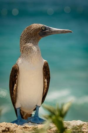 boobie: Blue-footed boobie in Ecuador Stock Photo