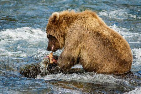 Brown baby-bear in Alaska