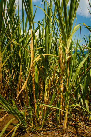 Raw sugar from juice of Sugar cane is the healtiest sugar of the world, Colombia
