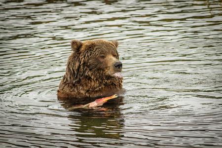 Huge bear eating the salmon fish in Katmai National Park, Alaska
