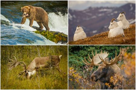 Nature photography of wildlife from Denali National park Alaska, the US - Bear, Dall sheep, Caribou, Moose
