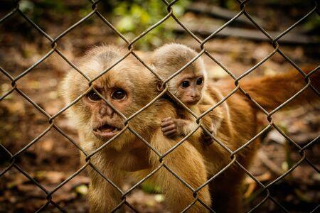 The critically endangered Ecuadorian Capuchin monkey in captivity in Rescue centre, Ecuador
