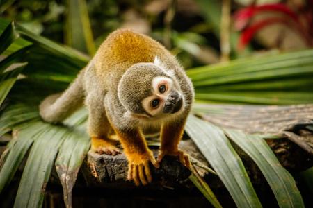 Funny look of sqirrel monkey in Amazonic rainforest, Ecuador Stock Photo