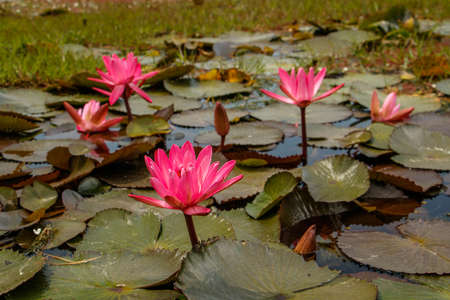 Blooms of Waterlilly plant in small pond Stock Photo