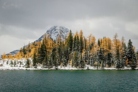 Larch trees in autumn colors on the bank of Chester lake, Kananaskis country, Alberta, Canada