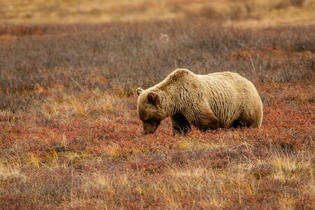 Grizzly bear in typical landscape of tundra in Denali NP, Alaska, US