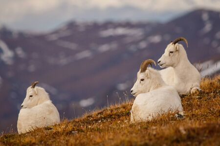 Protected Dall sheeps in backcountry of Denali NP, Alaska, US Stock Photo