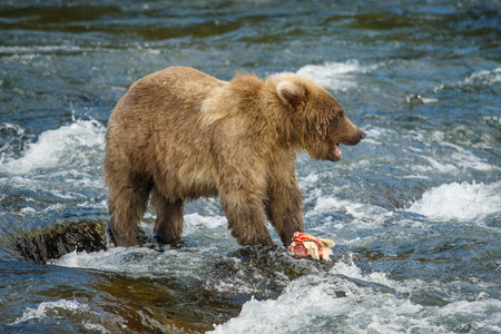 Baby bear playing with catched salmon in Katmai NP, Alaska, US