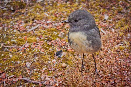 Kleiner Vogel Robin ist endemisch aus Neuseeland