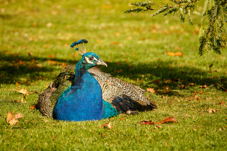 Beatiful colorful peacock in shadow of tree in city of Victoria, Vancouver Island, Canada, peafowl male resting in garden, beauty of nature, bird world, siesta time in park, elegance, natural, exotic wings, decorative feather.