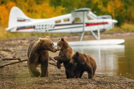 Mama bear walking with her two cubs on the beach of Naknak lake in Alaska, family of brown bears in Brooks falls capm in Katmai national park in Alaska, female bear with her two cubs close to human, in Alaska people and animals live together.