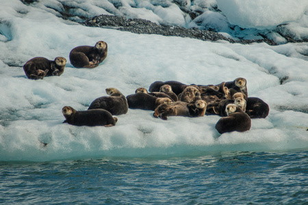 Sea otters resting on ice floe in Prince William Sound, Alaska