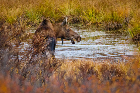 Young moose with driping water from his chin in Alaska Reklamní fotografie