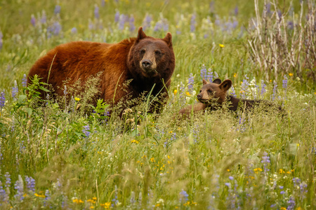 Mama bear with her cubs in Waterton Lakes NP, Canada